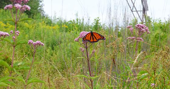 uplands_pollinator